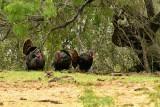 _APR3495 Spring gobblers; 2013