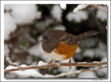 Spotted Towhee in snow