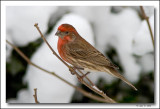 Male House Finch in snow