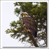 Young 3 or 4 year old Bald Eagle,