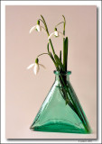 Snowdrop in glass