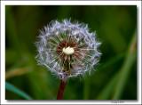 Dandelion Clock..