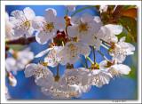 Wild Cherry blossoms.