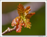 New English Oak leaves.