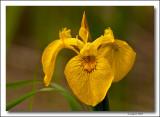 Bog Iris