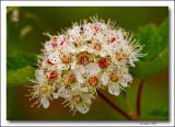 Pacific Ninebark flower.