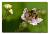 Bee in Blackberry Flower