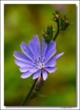 Common Chicory.