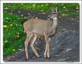 Young White-tailed  Deer.