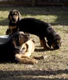 Bloodhound Pups