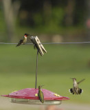 Humming Bird Photos