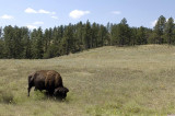 Buffalo at Custer