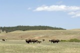 Buffalo Herd, Custer SD