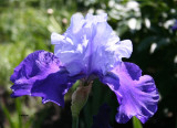IMG_3100 Iris PB.jpg