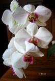 .0019 Mes orchidées PB.jpg
