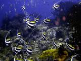Bannerfish Shoal