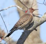 Northern Flicker (Yellow-shafted) female