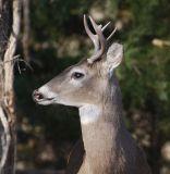 North American Whitetail Deer