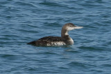 Pacific Loon 2