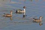 Northern Pintails