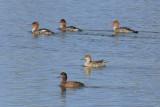 Mergansers, Ducks