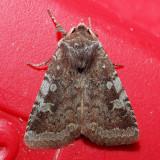 10994 Reddish Speckled Dart - Cerastis tenebrifera