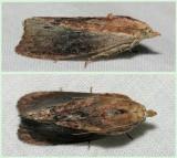 5622 Greater Wax  Moth - Galleria mellonella