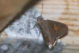 Hoary Edge Skipper Butterfly