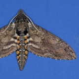 7775 Carolina Sphinx - Manduca sexta