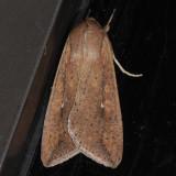 10438  Armyworm - Pseudaletia unipuncta