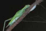 Tree Cricket nymph