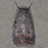 10903 Snowy Dart Moth - Anicla illapsa