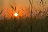 sunrise behind grass