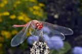 Dragonfly  (Sympetrum)