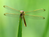 Golden-winged Skimmer - Male