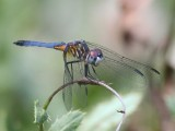 Blue Dasher - Immature Male