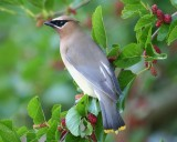 Cedar Waxwing on Mulberry