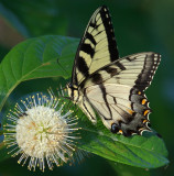 Tiger Swallowtail on Buttonbush