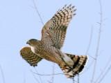 Cooper's Hawk Taking Flight