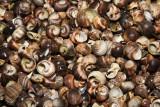 Snail Shells on Bustins Shoreline