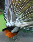 05 25 07, Backside of a Peacock,  Ellen Trout Zoo, Lufkin, TX,  D50  Tamron 18-250.jpg
