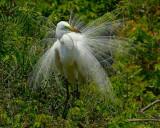 Great Egret NT8845.jpg