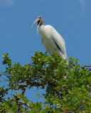 Wood Stork nt 8809.jpg
