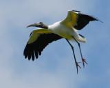 wood stork NT 8801.jpg