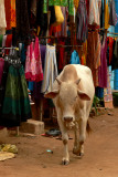 Cow in Hampi Bazaar