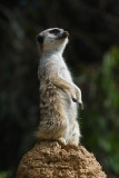 SDIM4311 meerkat m12.jpg