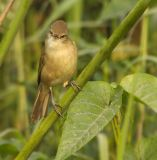 Clamorous Reed Warbler -BID0333