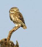Spotted owlet-1420
