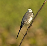 White wagtail-1485