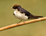 Wire tailed swallow-2287